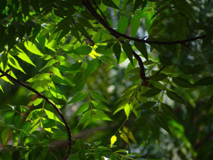 Close-up of neem leaves on tree