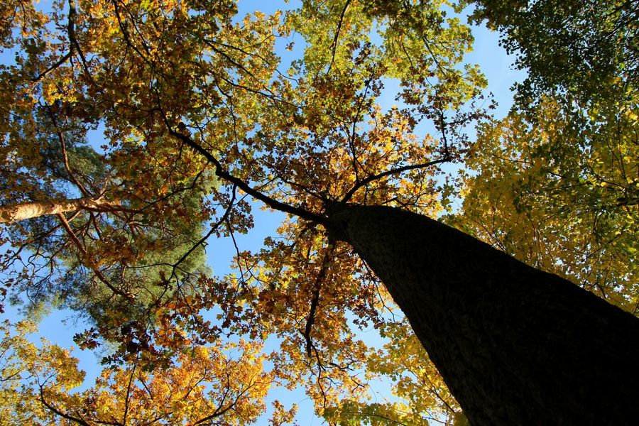Autumn Autumn Forest Autumn Leaves Beauty In Nature Branch Branches Day Forest Growth Leaves Low Angle View Nature No People Outdoors Scenics Sky Tall - High Tranquil Scene Tranquility Tree Tree Canopy  Tree Crown Tree Crowns Trees Yellow Leaves