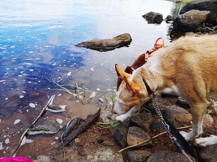 Dog Podenco Summer Sweden Dalarna Riverside River Dalälven Västerdalälven Drinking Dog Drinking EyeEm Selects Water Pets Sea
