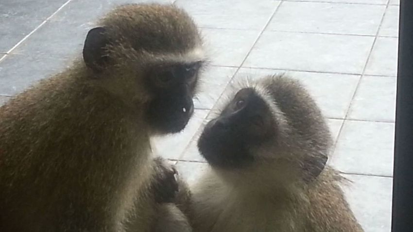 Two Is Better Than One Monkeys Monkeys Life Mother Nature Double Trouble