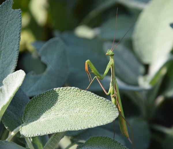 Mantide Religiosa Mantidereligiosa Green Insetti Insetto Natura Macro Micro Mondo MantisReligiosa