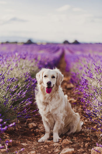 Portrait of dog standing amidst lavender flowers on field