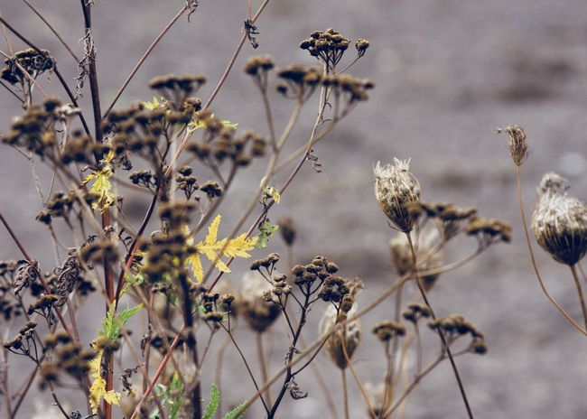 yellow leaves between drying wildflowers Autumn Autumn Colors Beige Copy Space Country Field Queen Anne's Lace Wildflower Abstract Backgrounds Beauty In Nature Brown Change Cold Floral Flower Growth Landscape Leaf Nature Outdoors Plant Tansy Wild Carrot Yellow