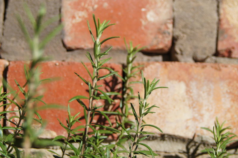 Rosemary growing against wall