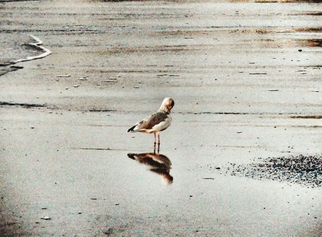 A seagull and its reflection as the waves roll back out to sea. Seagull Beach Sand Reflection Ocean Water