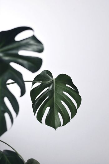 Taste of green Plant Interior Decorating Minimalism Blooming Monstera Deliciosa Monstera TheWeekOnEyeEM EyeEm Best Shots The Week on EyeEm EyeEm Gallery EyeEm Selects EyeEm Nature Lover Leaf Plant Part Close-up Indoors  Plant Nature No People Green Color Beauty In Nature Copy Space Pattern Growth White Background High Angle View Art And Craft