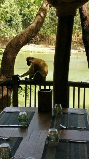 Animal Themes Monkey Africa Dakar Senegal Bandia Natural Reserve Waiter