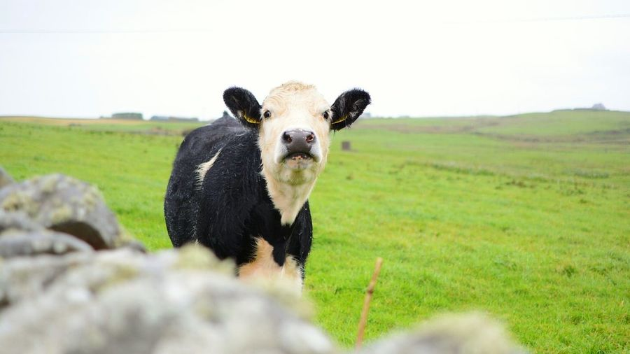 Cow in Ireland Cow Cows Ireland Ireland🍀 Landscape Ire EyeEm Selects Portrait Looking At Camera Animal Rural Scene Field Agriculture One Animal Outdoors Domestic Animals Pets Grass Nature Animal Themes No People Day