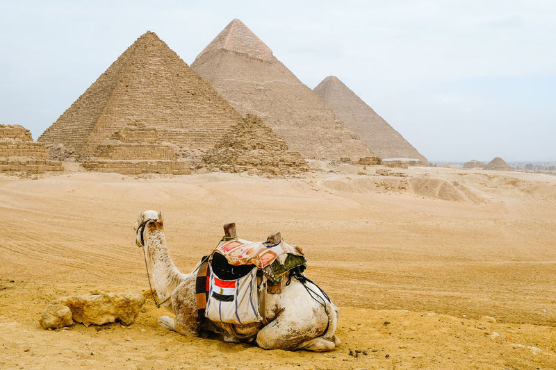 Camel sat in front of the pyramids in giza