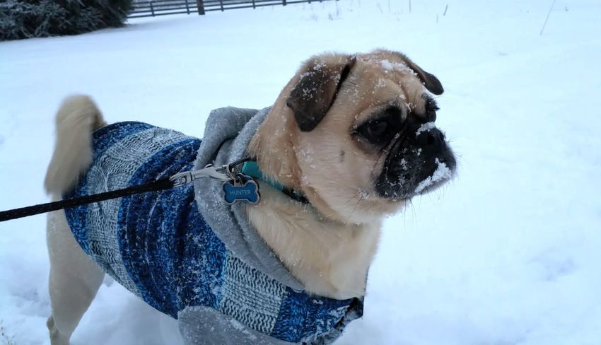 Hunter loves snow. Dog Photography Pet Photography  Dog Dog❤ Pug Life  Pug Snowing Nature_collection Ohio, USA Nature Photography Landscape_photography Samsung Galaxy Note 4 Winter Snow Day Snow ❄ Snow Pet Photography  Pet Portraits Pets Of Eyeem Animal Photography Pets Corner Pet Clothing