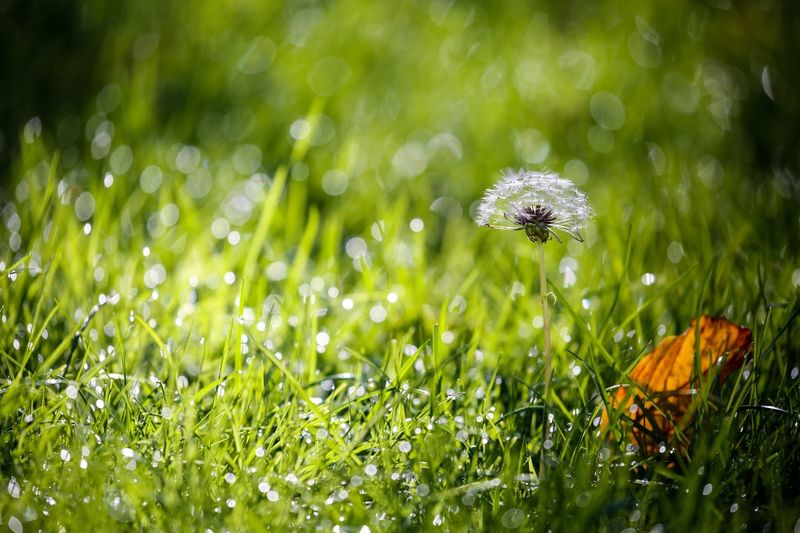 Cold mornings sparkle on the lawn. Dandelion Seed Autumn Leaf Plant Growth Green Color Nature Flower Freshness Beauty In Nature Flowering Plant Fragility Grass Water Vulnerability  Close-up Drop Wet Dew Day No People Land