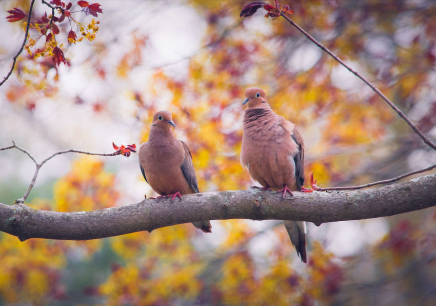 Mourning Doves Cute Couple Perching Bird Mourning Dove Animal Wildlife Beauty In Nature Animals In The Wild Wildlife Photography Wildlife & Nature Birds Of EyeEm  Riverside Photography Bird Photography EyeEm Best Shots - Nature Animals In The Wild Outdoors Photograpghy  My Artistic Style Nature Is Art My Unique Style My Point Of View Beautiful Nature Nature Photography Best EyeEm Shot Beauty In Nature Peaceful View