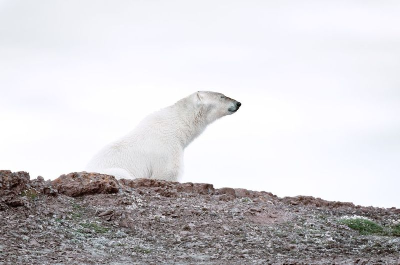 Polar bear on field against sky
