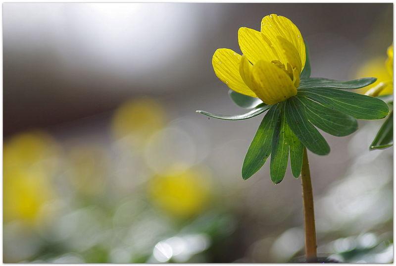 Spring Time Yellow Beauty In Nature EyeEm Deutschland Streamzoofamily Beauty In Nature Pentax K5iis Outdoors Pentax K5ll For You ;-) Winterlinge Im Garten Winterlinge Eranthis