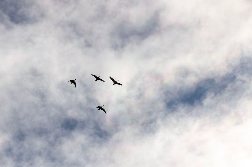 Flight Canon EOS 60D Cloud - Sky Flying Low Angle View Animal Themes Sky Animal Vertebrate
