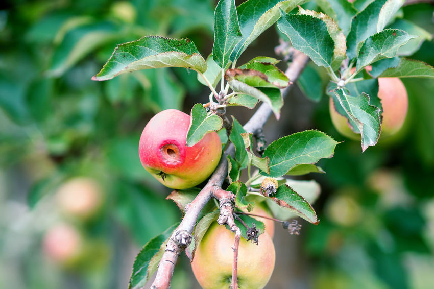 Apple Crop Autumn Mood Fruit Food Food And Drink Healthy Eating Freshness Day Wellbeing Growth Leaf Plant Part Plant Focus On Foreground Green Color Close-up Nature Apple - Fruit Apple Tree Branch Fruit Tree Tree No People Outdoors Ripe