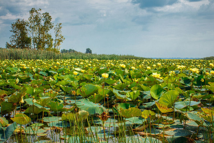 Yellow water lilies Lily Pads Flower Pointe Mouillee Agriculture Beauty In Nature Close-up Cloud - Sky Day Field Flower Fragility Freshness Green Color Growth Landscape Leaf Lily Pads Lotus Water Lily Nature No People Outdoors Plant Rural Scene Scenics Sky Tranquil Scene Tranquility Tree Water Lillies Water Lily, Flower Yellow Flowers