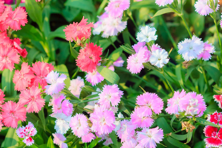 Beautiful Pink, Indian pink, China pink, or Rainbow pink Flowers inthe garden on the sunny day. Selective focus Beautiful Nature Beautiful Flowers Of My Garden. China Pink Indian Pink Flower Indian Pink Rainbow Pink Beautiful Flower Beautiful Flower, Natural Color, Beautiful Flowers Beautiful Flowers Garden Nature Beautiful Flowers Make Me Happy Beauty In Nature Blooming Close-up Day Flower Flower Head Fragility Freshness Green Color Growth Leaf Nature No People Outdoors Petal Pink Flower Pink Flowers Plant Soft Pink Soft Pink Flower Soft Pink Flowers Soft Pink Petal Soft Pink Petals