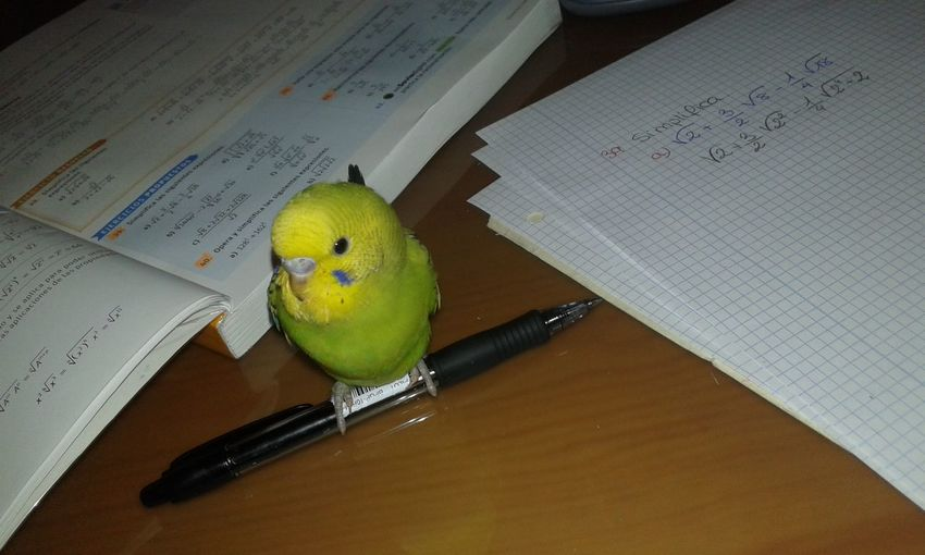 Bird Indoors  One Animal Budgerigar No People Table Animal Wildlife Parrot Animals In The Wild Animal Themes Day Close-up Perching Homework Time Green Color Pen Pilot Maths Garri❌ Galicia Calidade Galicia, Spain