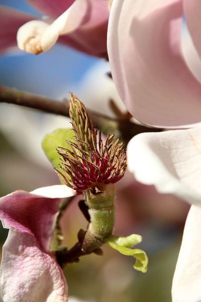 Spring Into Spring Spring Spring Flowers Magnolia EyeEm 2015 Eye4photography  Nature Nature Photography Getting Inspired Nature_collection