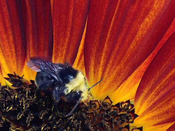 Iphonography Bumble Bee Bee Bee Collecting Pollen Sunflower Bee And Sunflower Bumble Bee And Sunflower Nature Flower Close Up Pollen IPS2016Nature