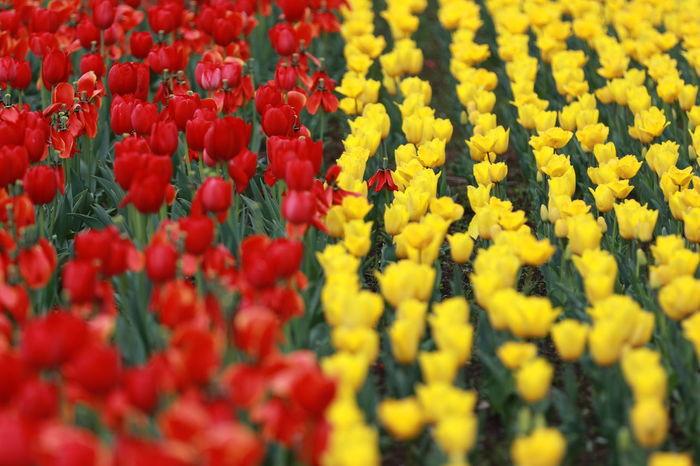 臨海副都心チューリップフェスティバル Abundance Backgrounds Beauty In Nature Close-up Day Flower Flower Head Fragility Freshness Growth Nature No People Outdoors Red Selective Focus Tulipes. Yellow