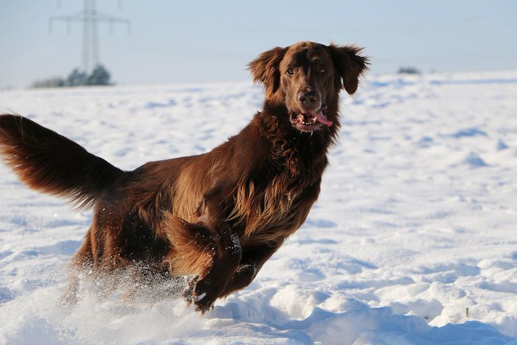 brown flat coated retriever is running on a snowy field EyeEm Pets Fun Funny Happy Action Active Animal Themes Brown Cold Temperature Dog Domestic Animals Field Flat Coated Retriever Jumping Mammal Nature One Animal Pets Portrait Sky Snow Sport Tongue Weather Winter