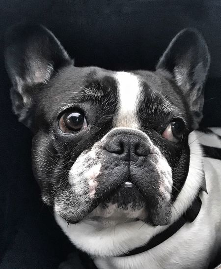Little beauty Pets Dog Domestic Animals One Animal Animal Themes Portrait Close-up Frenchbulldog Frenchie Waiting Day Beautiful Dog Familienmitglied Beauty Tadaa Community Snapshot