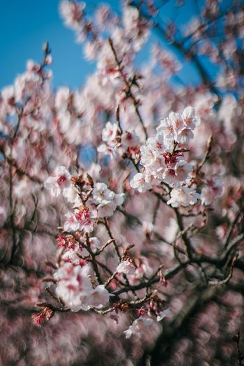 Plant Flower Flowering Plant Tree Fragility Blossom Springtime Cherry Blossom Branch Beauty In Nature Nature Freshness Close-up Day No People Cherry Tree Pink Color Growth Vulnerability  Sky