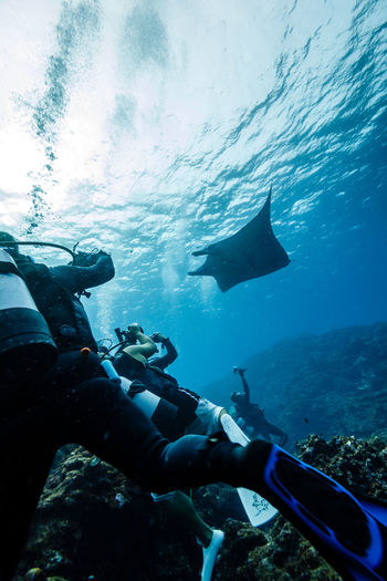 Scuba divers swimming stingray in sea