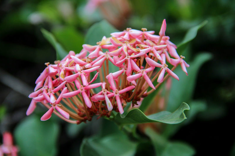Close-up of pink ixora blooming outdoors