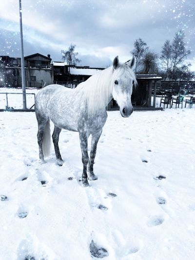 Animal Themes One Animal Weather Snow Winter Almaamorosa Spanish Horses Cartujano Horses Stable The Culture Of The Holidays