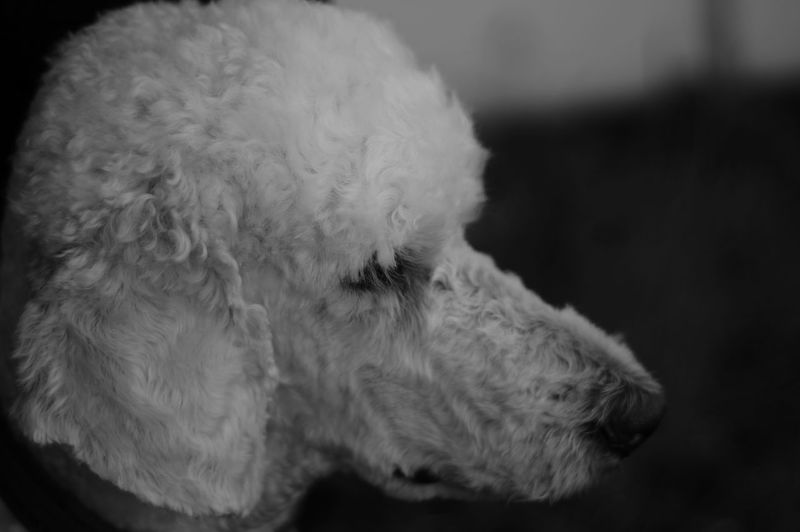 Dog Pets One Animal Close-up Dogs Poodle Pudel
