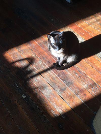 Sunnin' Domestic Cat Domestic Animals Pets Animal Themes Mammal Feline No People Cat Indoors  Day Wood Hardwood Floor Brown Floor Burmese Cat Shadow Animal Cute Sun Sunlight