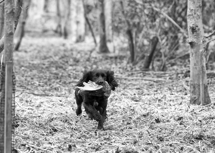 Black & White Cocker Spaniel  Dog In Action Dog Photography Lifestyles Outdoors WoodLand Working Dogs