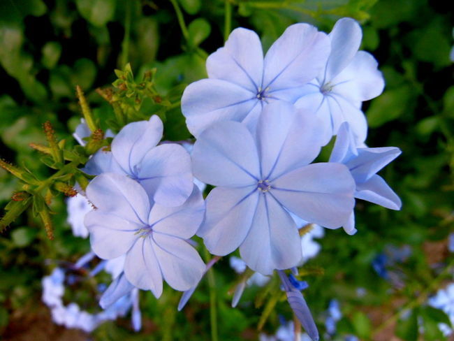 Beauty In Nature Blooming Blue Flowers Blue Plumbago Botany Close-up Depth Of Field Flower Flower Head Focus On Foreground Fragility Freshness Garden Growth Nature Nature No People Petal Plant Purple Selective Focus Softness Spring Spring Flowers Springtime