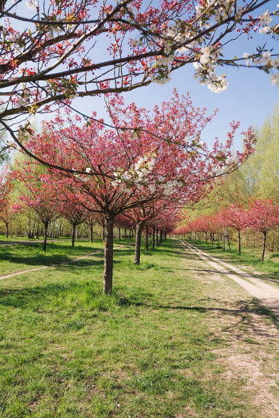 japanese cherry blossoms Almond Tree Beauty In Nature Berlin Blossom Branch Day Flower Fragility Freshness Grass Growth Japanese Cherry Blossoms Nature No People Orchard Outdoors Pink Color Scenics Season  Spring Spring 2017 Springtime Tranquil Scene Tranquility Tree