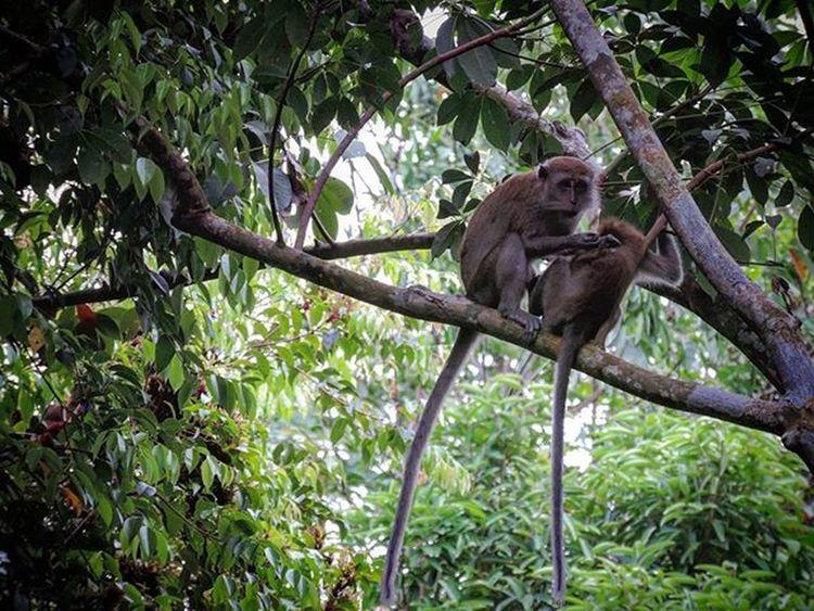 [2016.01.01] Monkeys Pulauubin Nparksbuzz Sg Singapore Nature Monkey