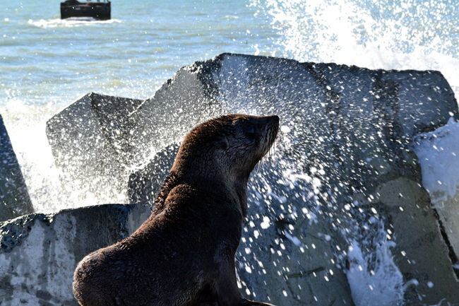 Animals In The Wild At The Beach Blue Cute Seal New Zealand Fur Seal Ocean Life Ocean Photography Poser Rocky Coastline Sea Mammal Seal Pup Splash Upclose And Personal Water_collection Wildlife & Nature