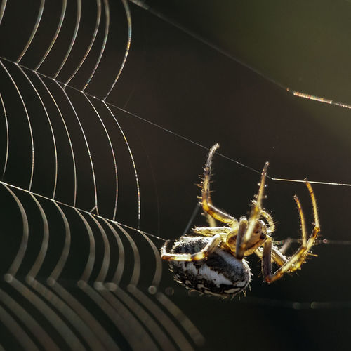 A small spider is weaving its web in the sunset light. Insect Invertebrate Animal Wildlife Arachnid Arthropod Spider Web Close-up Spider Fragility Focus On Foreground Zoology Outdoors Nature Dark Background Translucide Contre-jour Thread Legs Thorns Agility Agile Sunset Sunlight My Best Photo