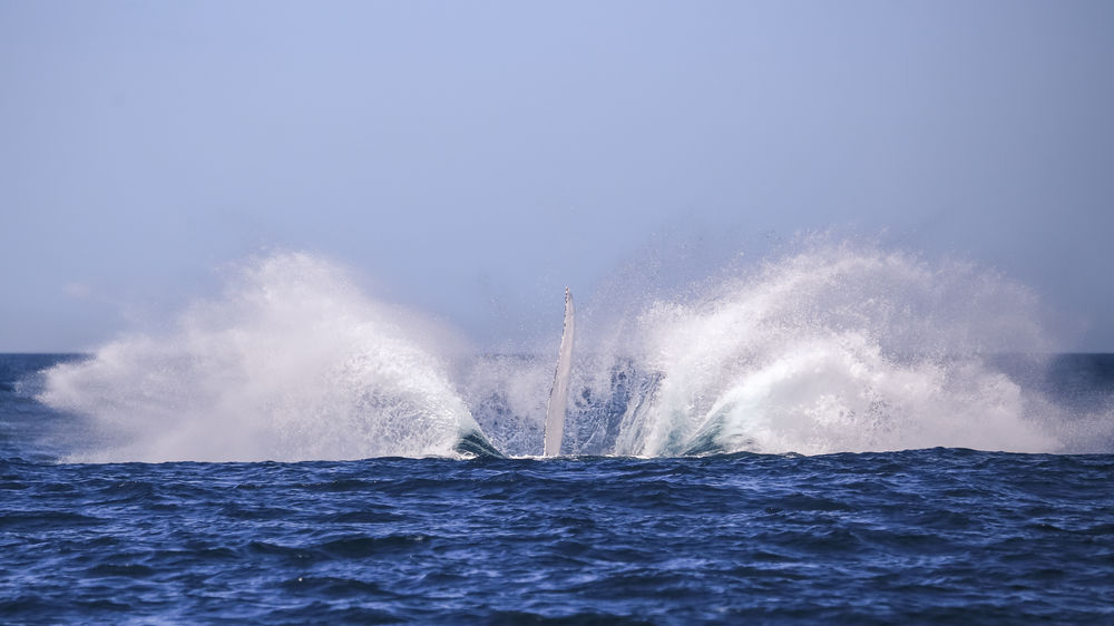 This is what 36 tonnes of mammalian flesh and bone doing a belly flop looks like. Humpback whale (Megaptera novaeangliae) re-entering the water after breaching with its pectoral fin still visible. Humpback pectoral fins often reach up to 5m (or 16ft) and are proportionally the longest of any whale at about one third of their body length. The humpback is one of the larger rorqual species of baleen whale with adults rangeing in length from 12–16 metres (39–52 ft) and weighing approximately 36,000 kilograms (79,000 lb). The deep blue sea offshore from the coast of Port Stephens, NSW, Australia. Australia Megaptera Novaeangliae Whale Blue Breaching Day Deep Blue Deep Blue Sea Humpback Whale Jumping Mammal Nature Ocean Outdoors Pacific Ocean Pectoral Fin Rorqual Sea Sky Splash Spraying Water Whale Whale Watching Wildlife