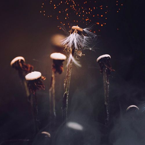 EyeEm Selects Close-up Flower Growth No People Flowering Plant Plant Night Freshness Motion Outdoors Illuminated Focus On Foreground Beauty In Nature Dandelion Nature Softness Selective Focus Fragility Vulnerability  Firework