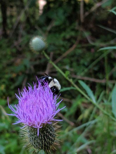 Close-up of purple thistle flower
