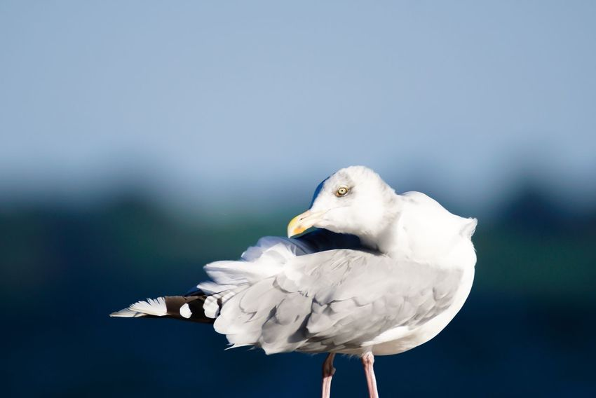 Sturmmöwe Common Gull Bird Beauty In Nature Wildlife Focus On Foreground Close-up Animals In The Wild Animal Themes Seagull Nature No People Water Bird Animals In The Wild Germany Schleswig-Holstein
