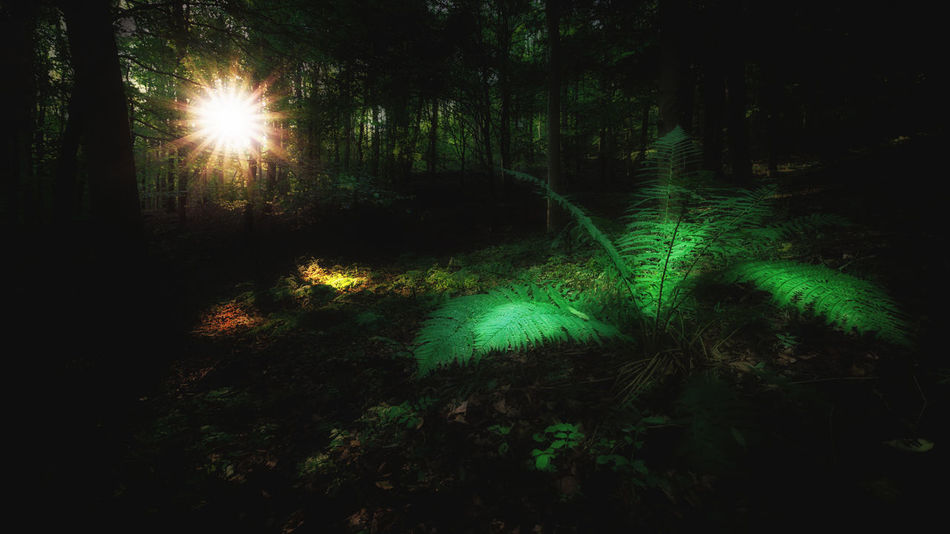 Farn Beauty In Nature Fern Forest Forest Photography Glowing Green Color Growth Illuminated Land Lens Flare Nature Night No People Non-urban Scene Outdoors Plant Scenics - Nature Sunset Tranquil Scene Tranquility Tree Wood - Material