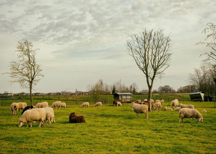 Flock Sheep