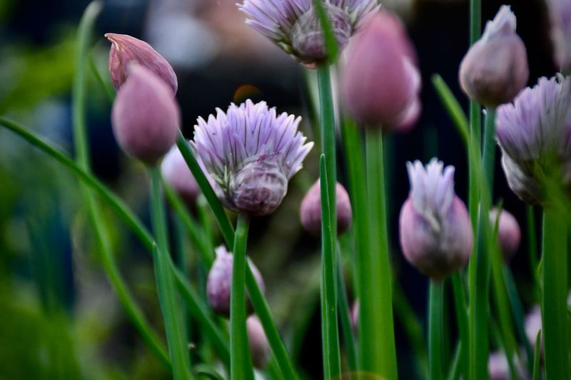 Chives Blossom Chives Flower EyeEm Best Shots - Nature EyeEm Best Shots - Flowers EyeEm Nature Lover EyeEm Selects Flower Flowering Plant Plant Beauty In Nature Vulnerability  Growth Flower Head Close-up Day Focus On Foreground Botany Freshness Inflorescence Fragility Purple Selective Focus No People Petal