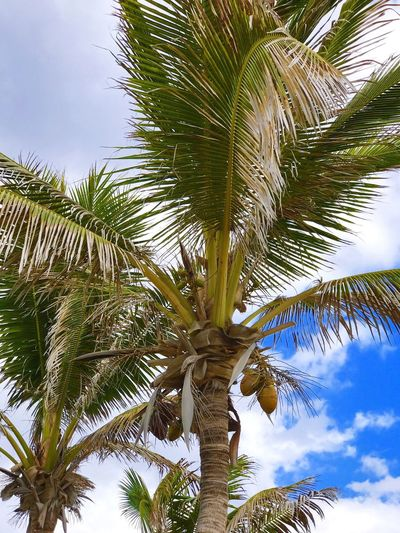 Palm Tree Tree Nature Growth Low Angle View Tree Trunk No People Outdoors Day Branch Scenics Beauty In Nature Sky Single Tree Close-up Palm Frond IPhoneography IPhone 7 Plus L. Jeffrey Moore