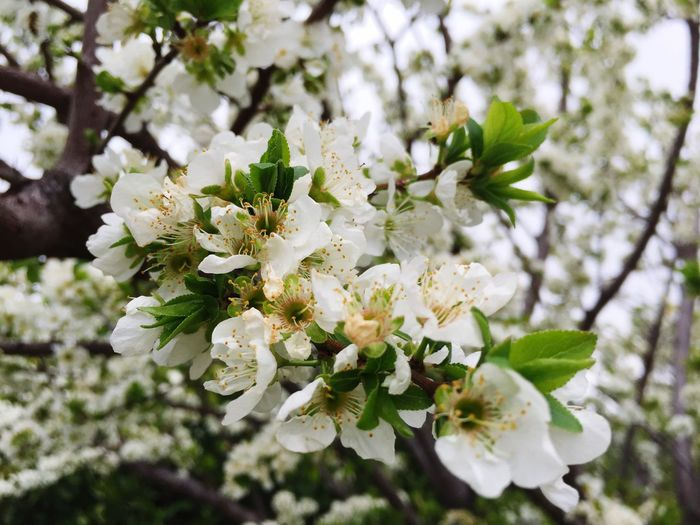 AyeEm Plant Flower Fragility White Color Apple Blossom Apple Tree Tree Springtime Freshness Nature Branch Botany Orchard Growth Cherry Tree Beauty In Nature No People Twig Petal Close-up