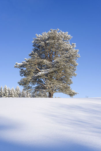 Trees Winter Wonderland Trees And Sky Planet Earth Pine Landscapephotography Treescape Naturephotograpy Landscape_captures Nikon Wintertime Trees And Nature Sun Pine Tree Deep Snow Winter Trees Snow ❄ Tree Blue Winter Sky Snowcapped Snow Covered Single Tree Spruce Tree
